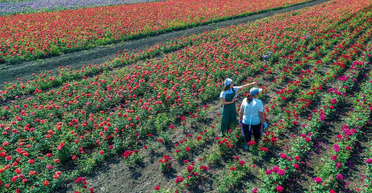 KN Freshchain - Perishable Logistics for flowers